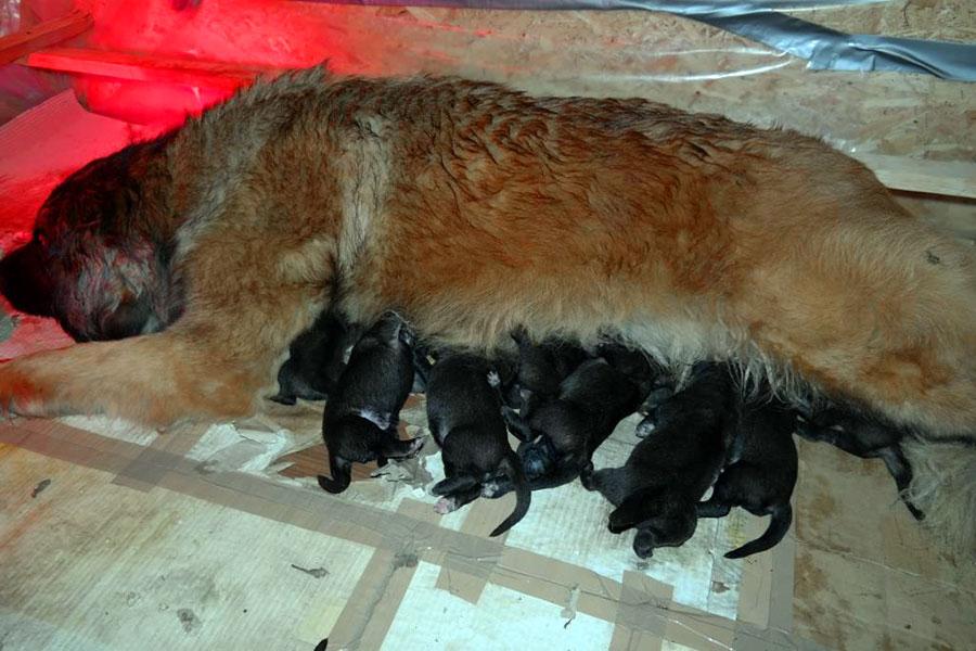 Első alom - kilenc kiskutya született május tizedikén